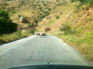 sheep in Greece